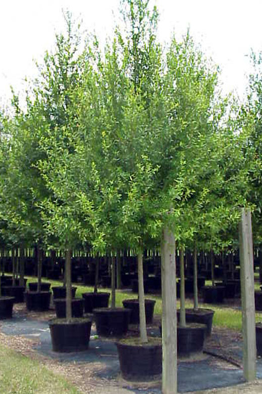 Laurel Oak 2.JPG
