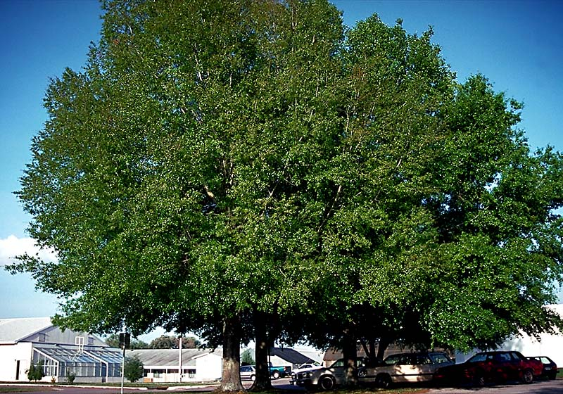 Laurel Oak Mature.jpg