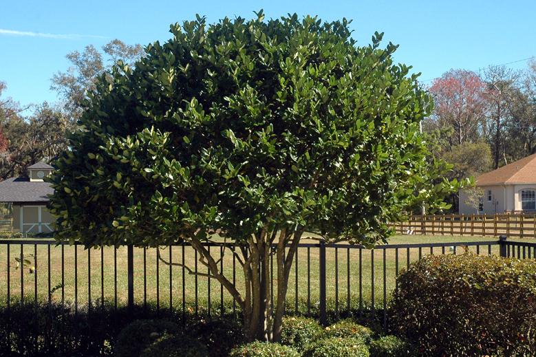 Ligustrum Tree 2.JPG