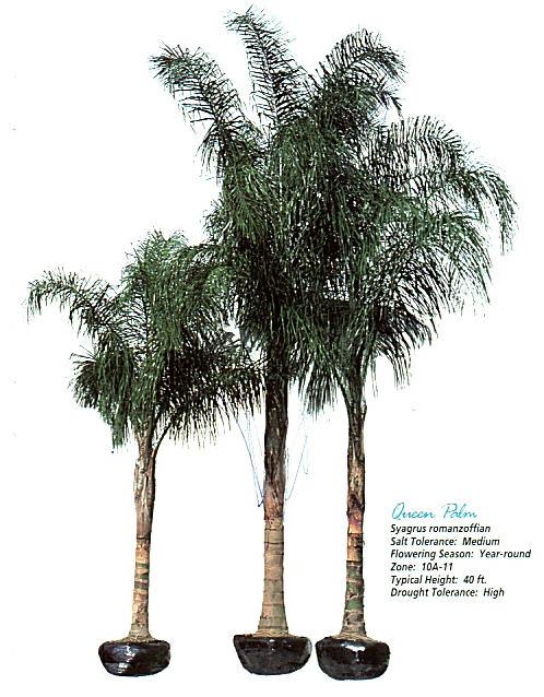 Queen Palm.jpg
