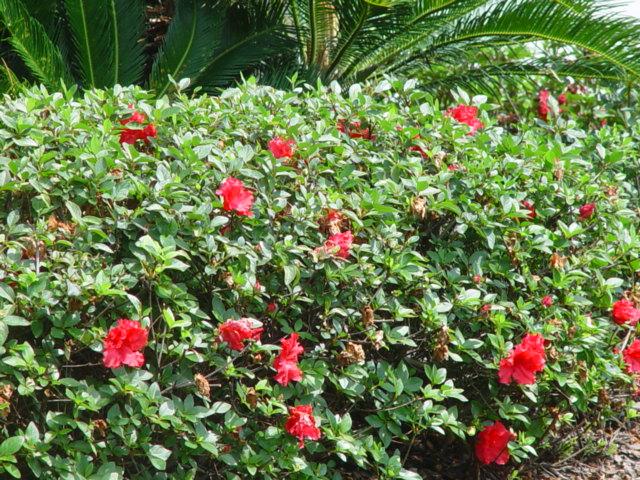 Red Ruffle Azalea.JPG
