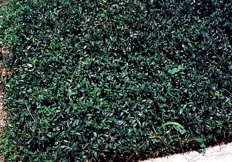 Texas Long Leaf Jasmine.jpg