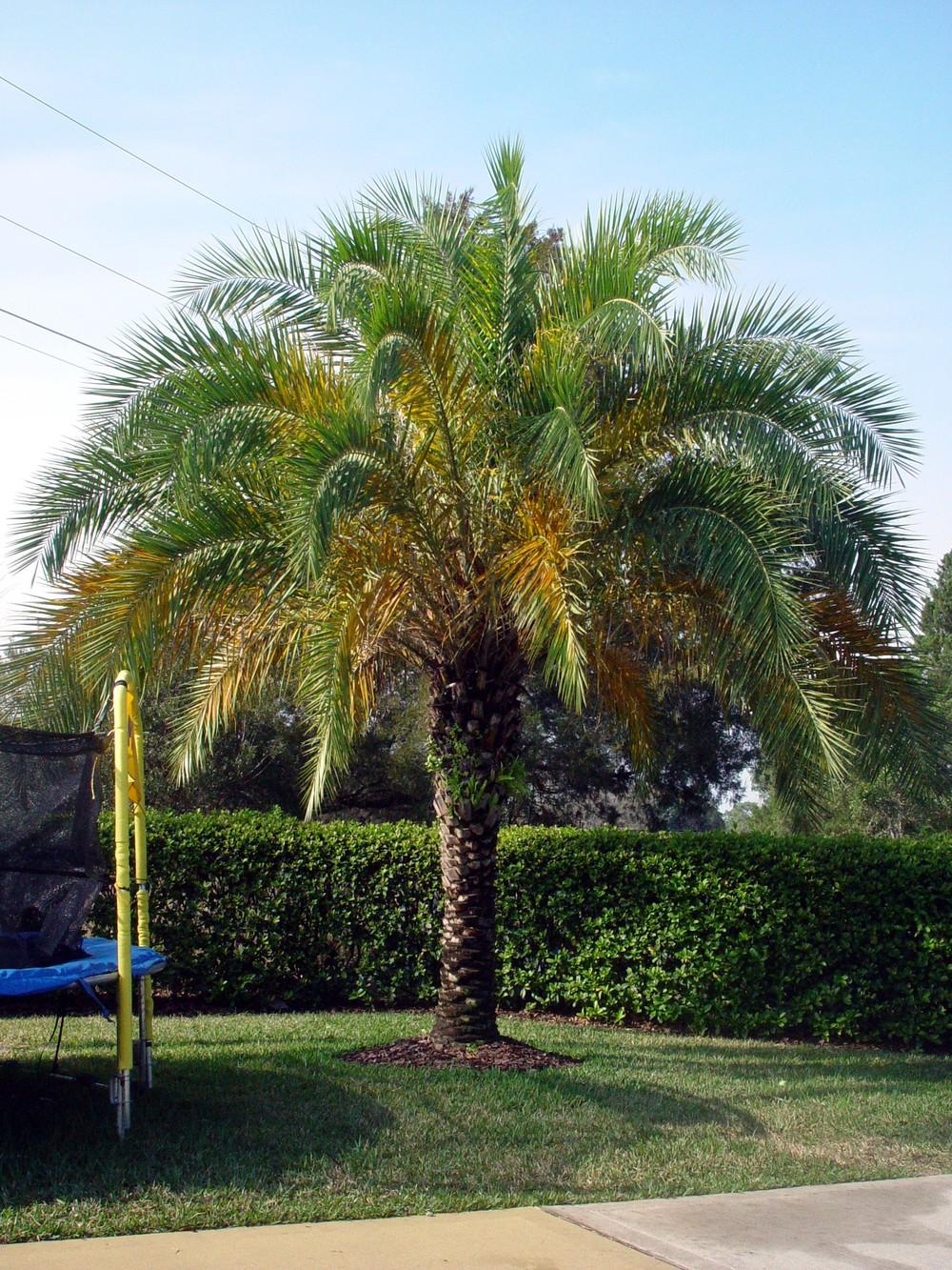 Sylvester Palm.JPG