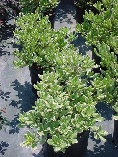 Varigated Pittosporum.jpg