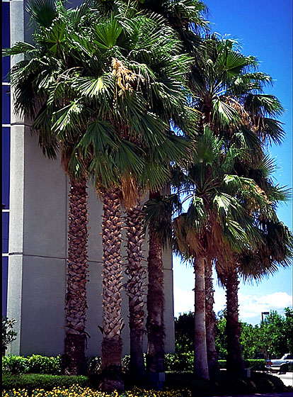 Washingtonia Palm.jpg