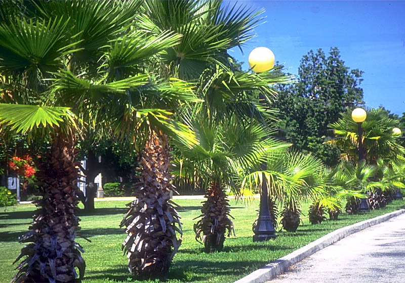 Washingtonia Palms.jpg