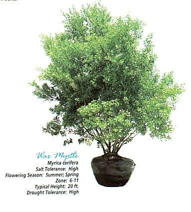 Wax Myrtle Tree.jpg