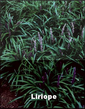 Aztec Grass or Liriope.jpg