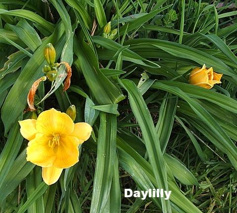 day-lily 2.jpg