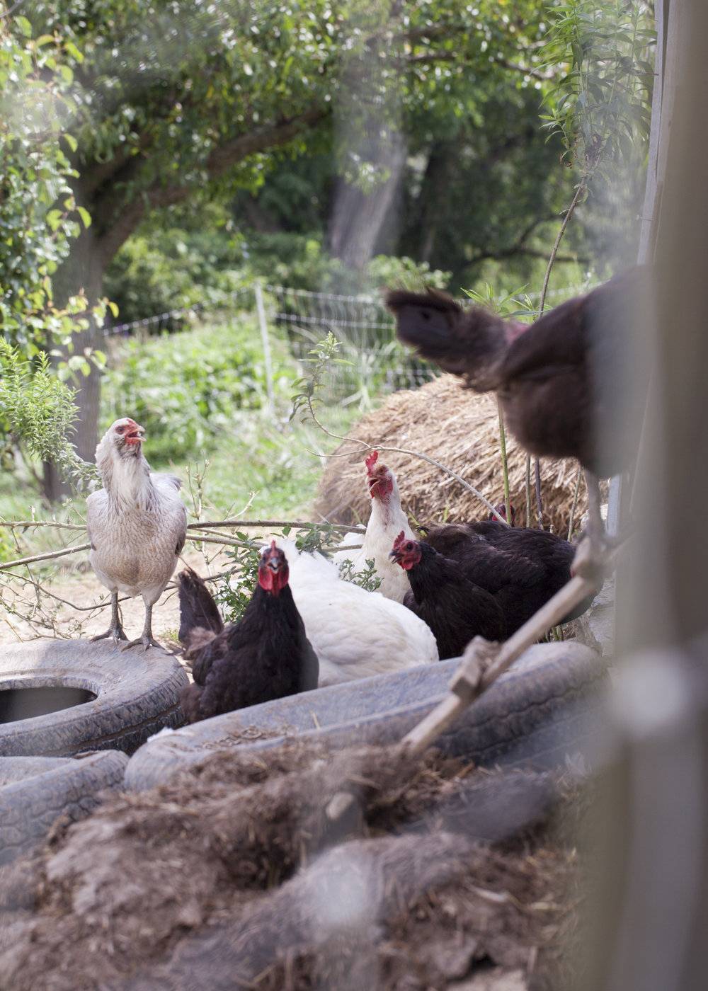 3 Farm Chickens.jpg