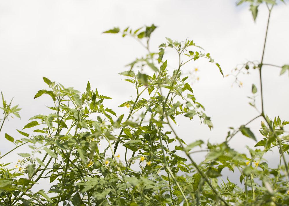 15 Tomato Leaves.jpg
