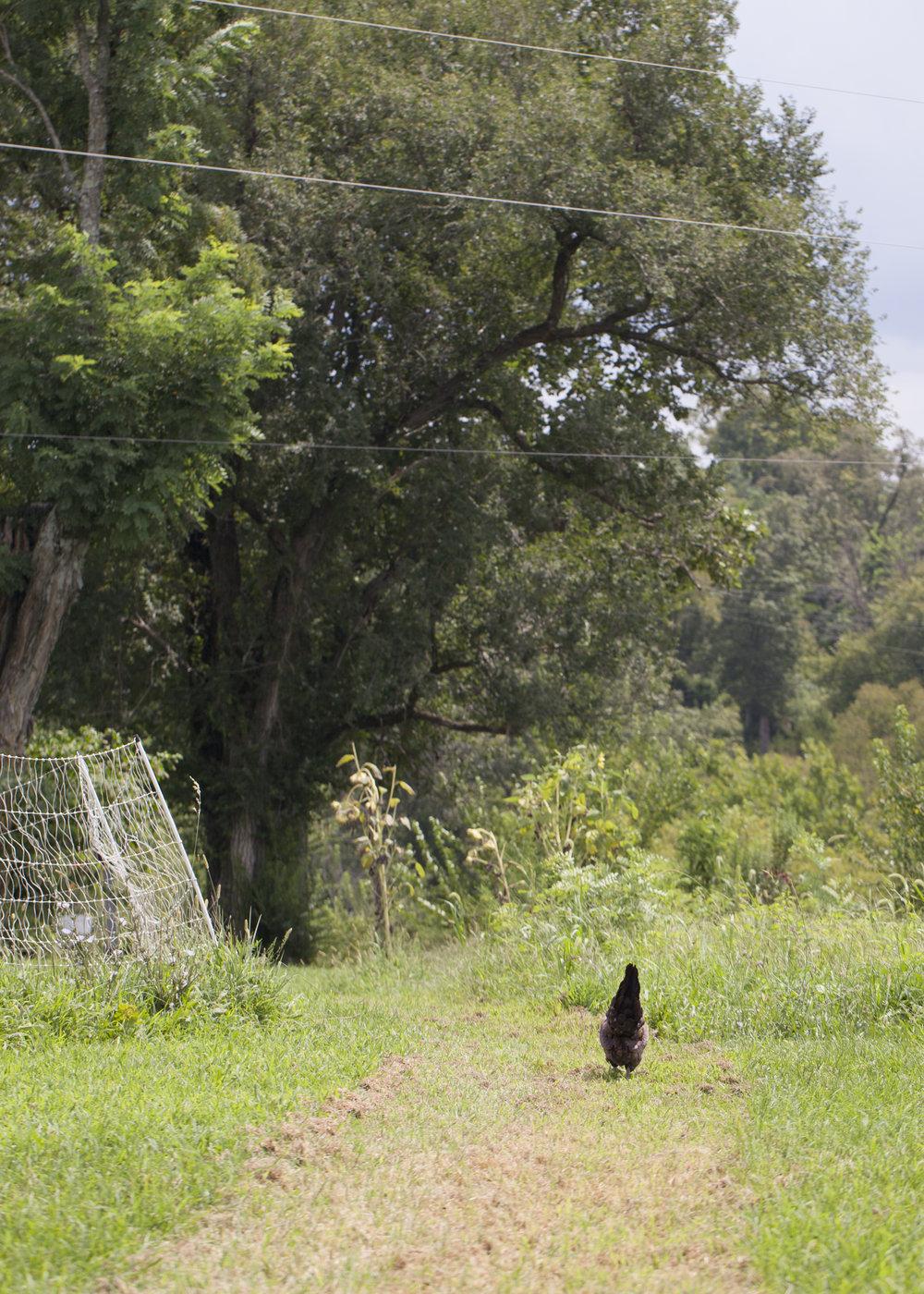 Farm Chicken Walking.jpg