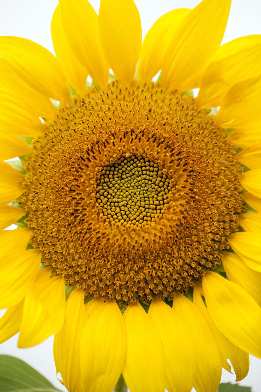 sunflower festival Gorman farm