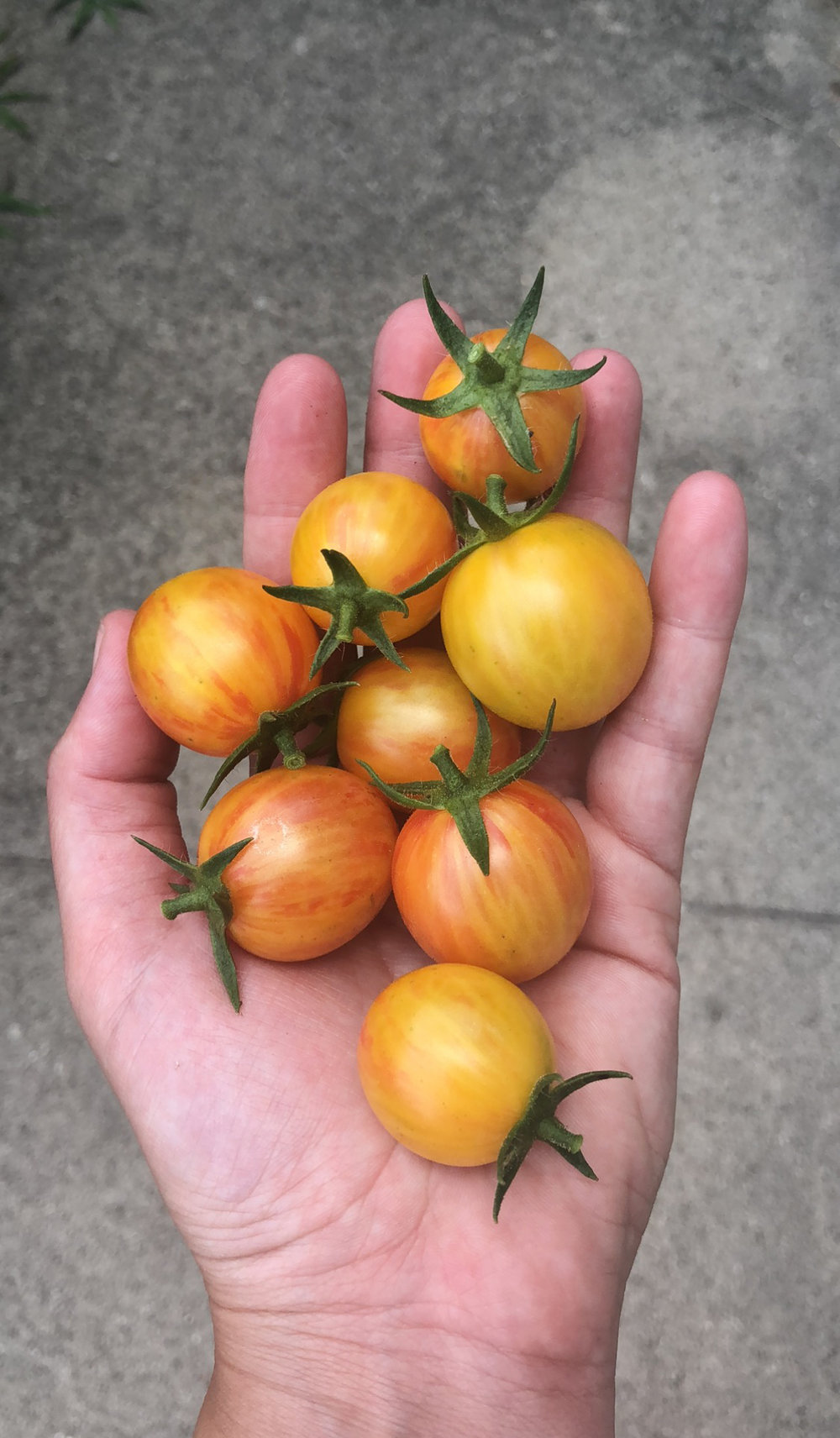 Bubble Bee Cherry Tomatoes.JPG
