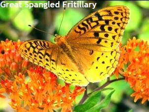 Fritillary Species