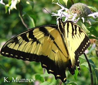Swallowtail Species