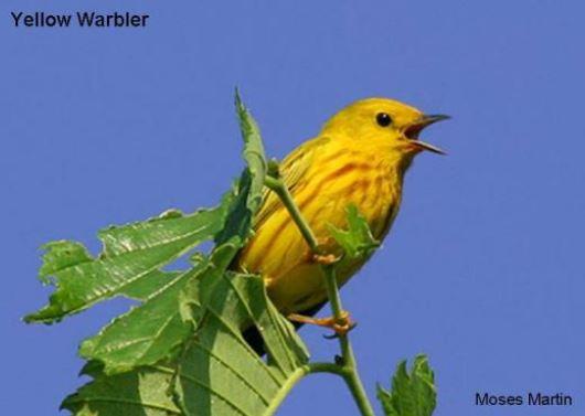 Warbler Species