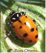Lady Beetle Species