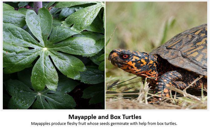 Mayapple-BoxTurtle.JPG