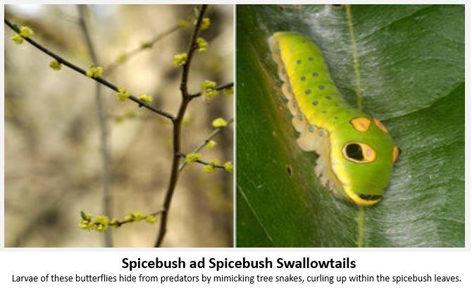 Spicebus-Swallowtail.JPG