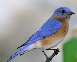The Eastern Bluebird is one of  our Sanctuary Species.