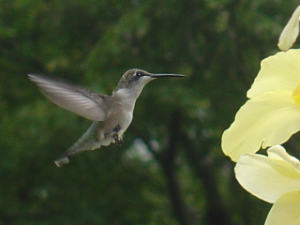Ruby-throated Hummingbird - Ananda Kalukin