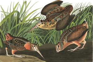 American Woodcock - J. J. Audubon