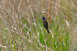 Blue Grosbeak in Grassland - Amy E. Johnson