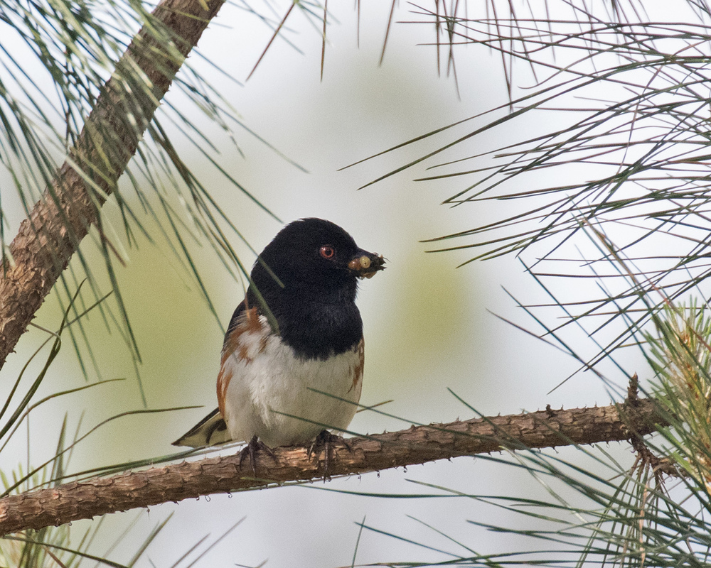 Eastern Towhee - Dixie Sommers