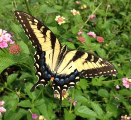 Eastern Tiger Swallowtail - Laura McDonald