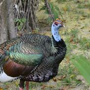 Ocellated Turkey - Laura Hare/Holbrook Travel