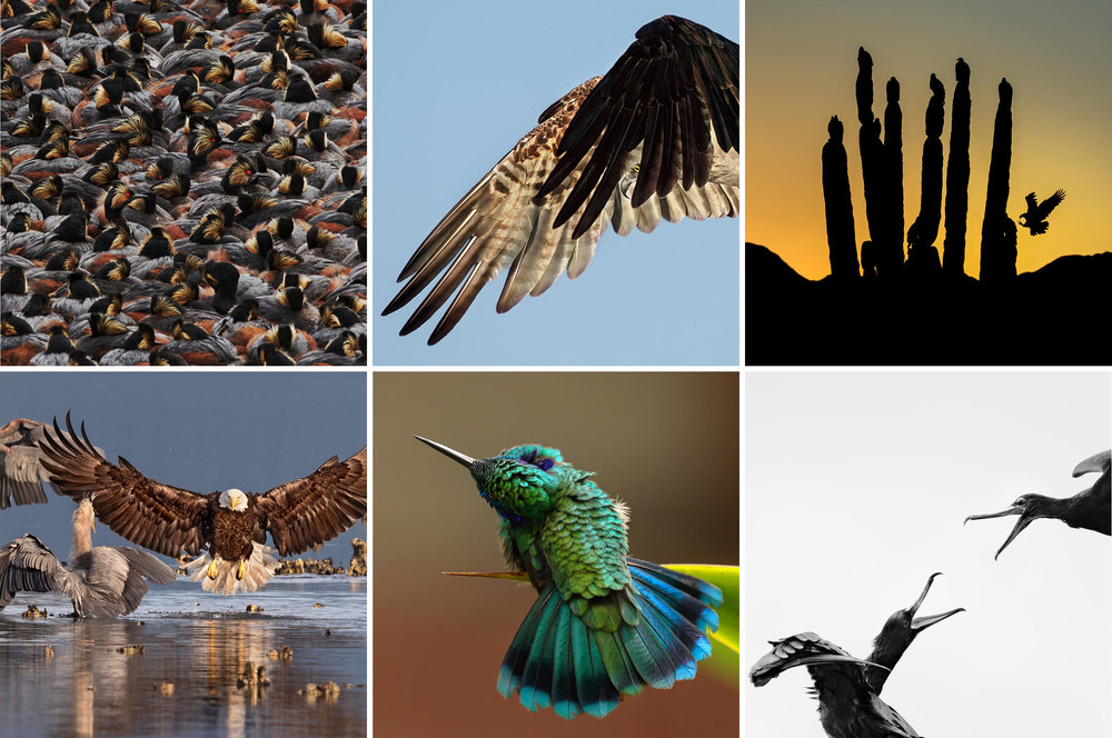 Images from Audubon Photography Contest  Left to Right, Top to Bottom: Amateur Winner - Steve Torna - Eared Grebes | Professional Winner - Dick Dickenson - Osprey | Fine Art Honorable Mention - Blake Shaw - Turkey Vultures | Grand Prize - Bonnie Block - Bald Eagle and Great Blue Herons | Fine Art - Barbara Driscol - Green Violetear | Youth Winner - Carolina Anne Fraser - Great Frigatebirds