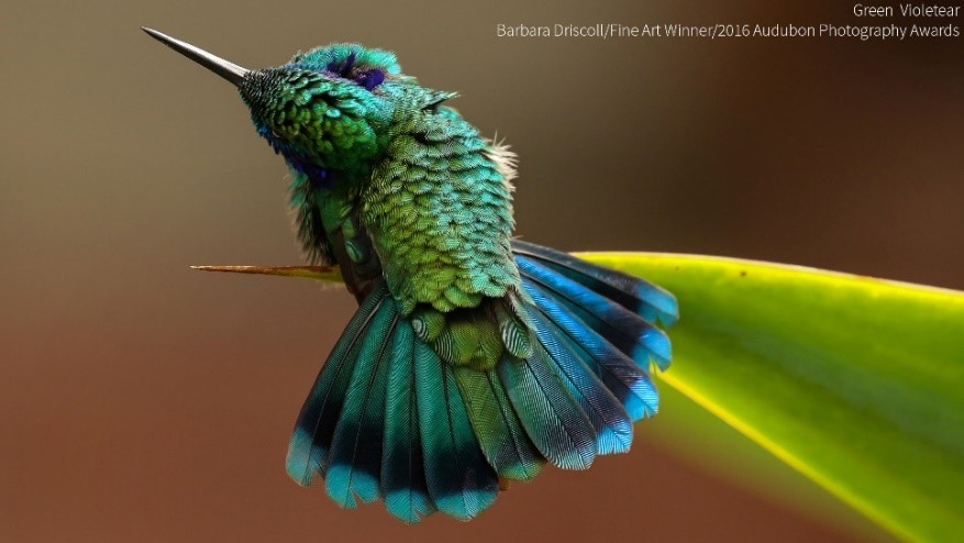 Fine Art Winner, Barbara Driscoll     Green Violetear