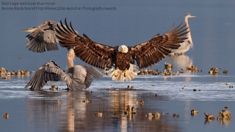 Grand Prize Winner, Bonnie Block        Bald Eagle and Great Blue Herons