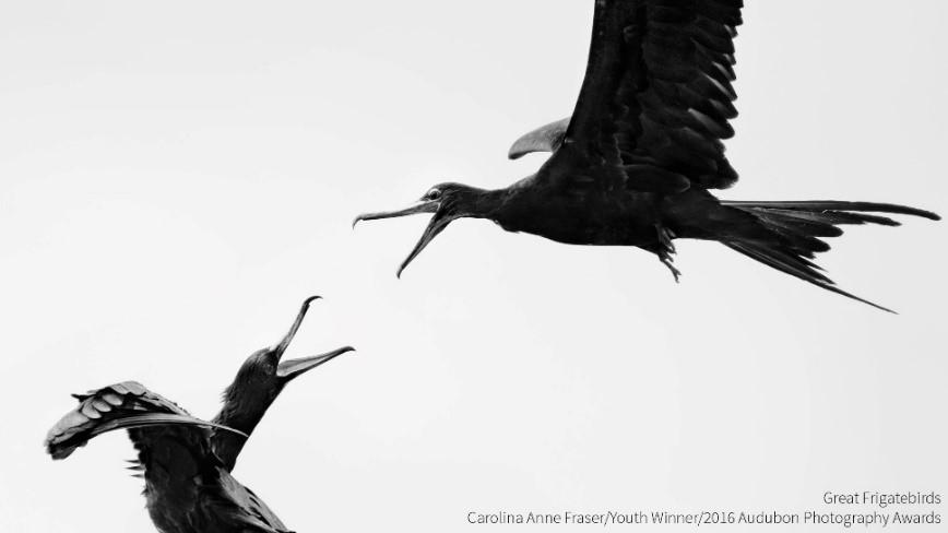 Youth Winner, Carolina Anne Fraser     Great Frigatebirds