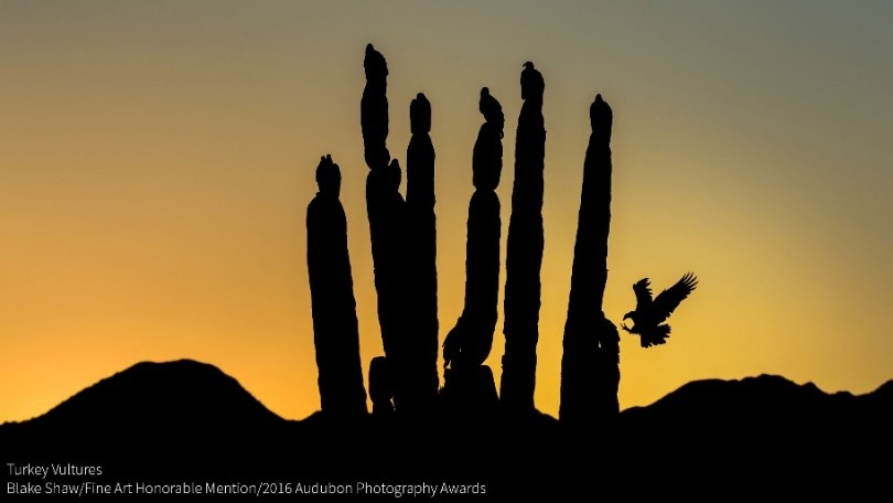 Fine Art Honorable Mention - Blake Shaw - Turkey Vultures.jpg
