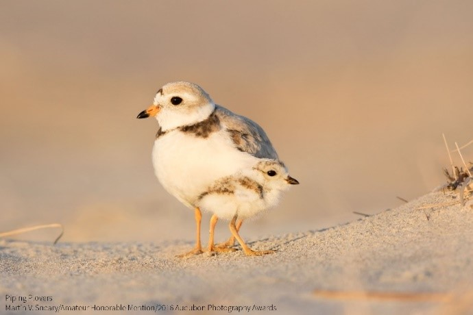 Amateur Honorable Mention - Martin V. Sneary - Piping Plovers.jpg