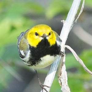 Black-throated Green Warbler - Marilyn Gaziband