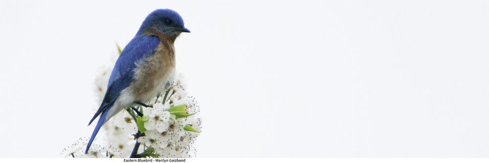 Bluebird_cr D2C1283.jpg