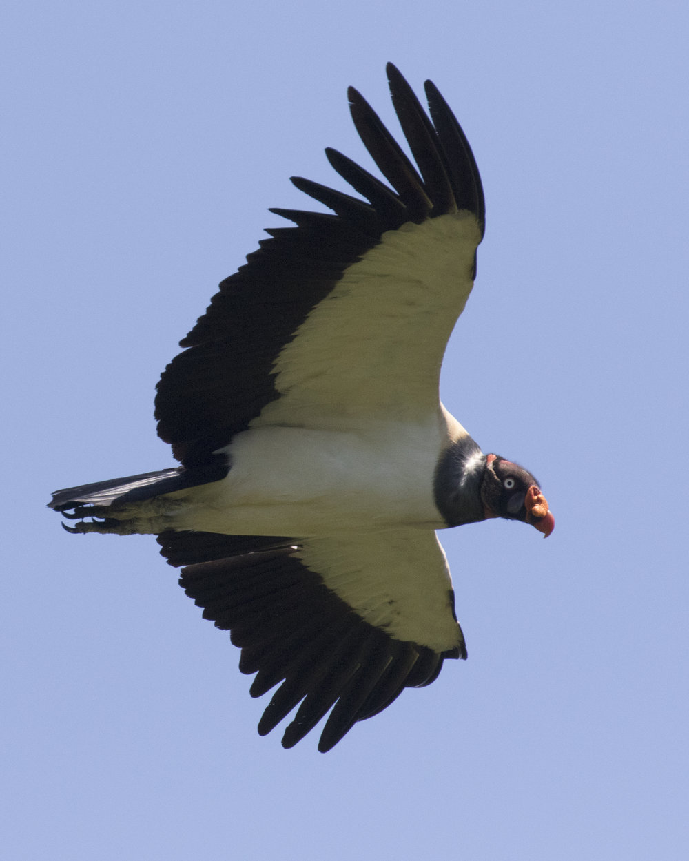 King Vulture at Mountain Pine Ridge, Belize