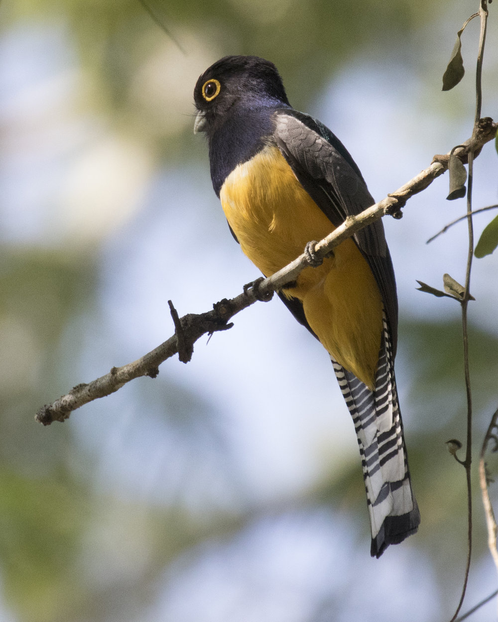 Gartered Trogon at Cahal Pech, Belize