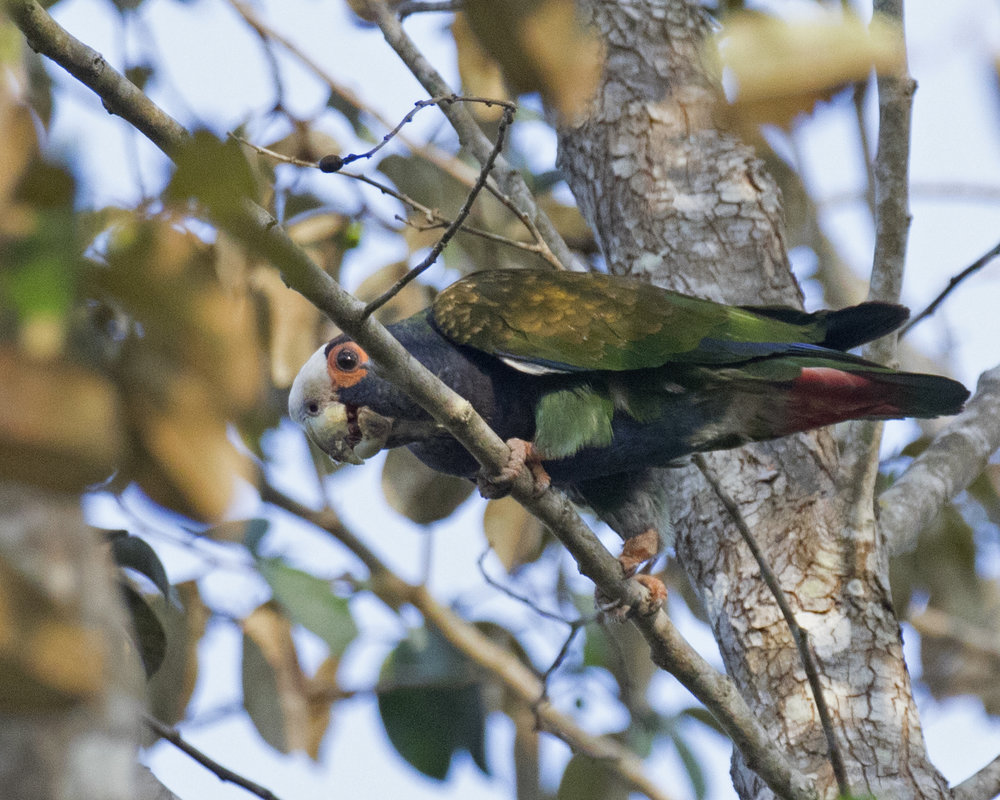White-crowned Parrot at Tikal, Guatemala