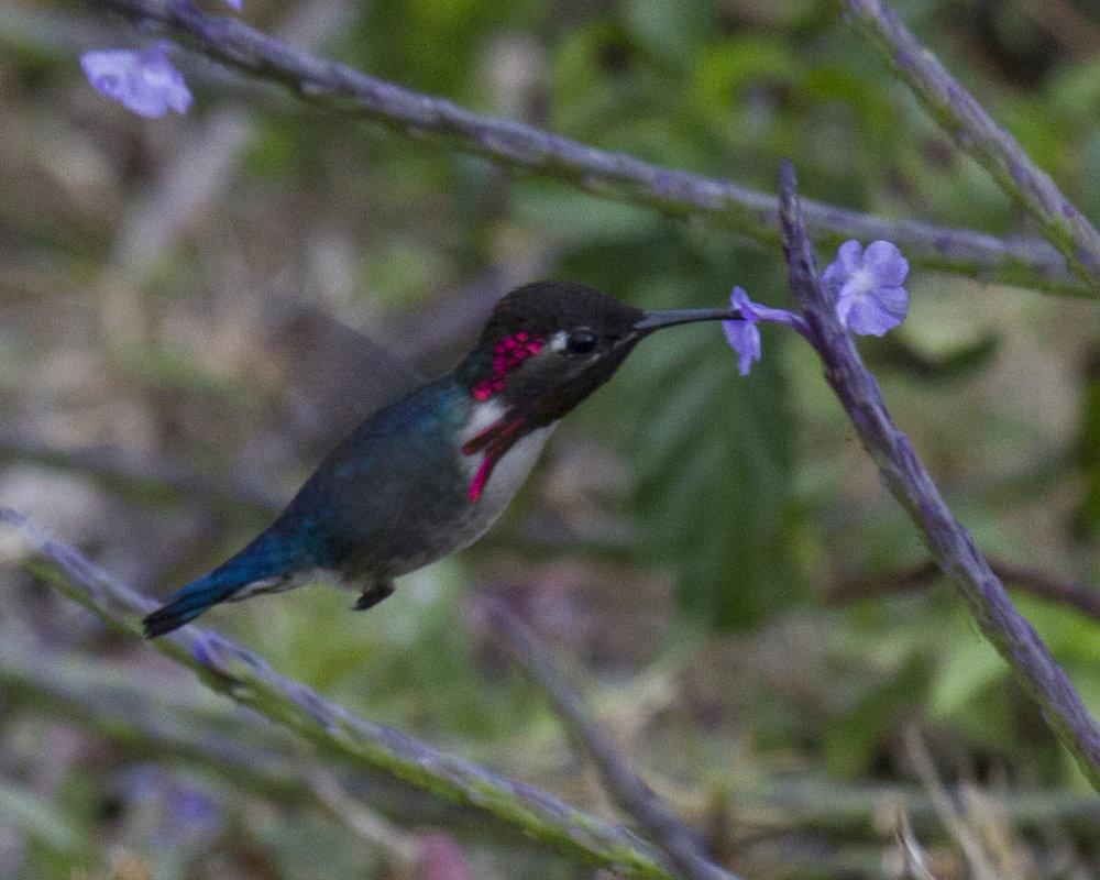 Bee Hummingbird - Dixie Sommers