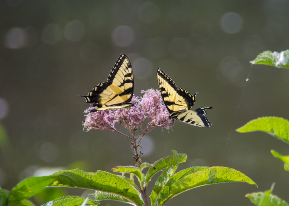 Tiger Swallowtails on Joe Pye Weed