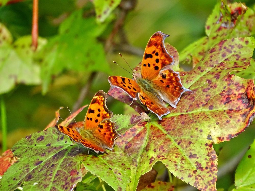 Eastern Comma and Question Mark - Gary Myers