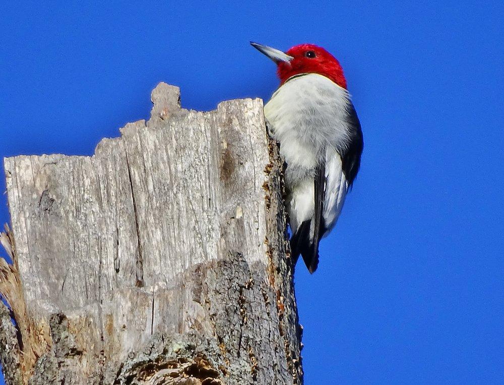 Red-headed Woodpecker - Gary Myers