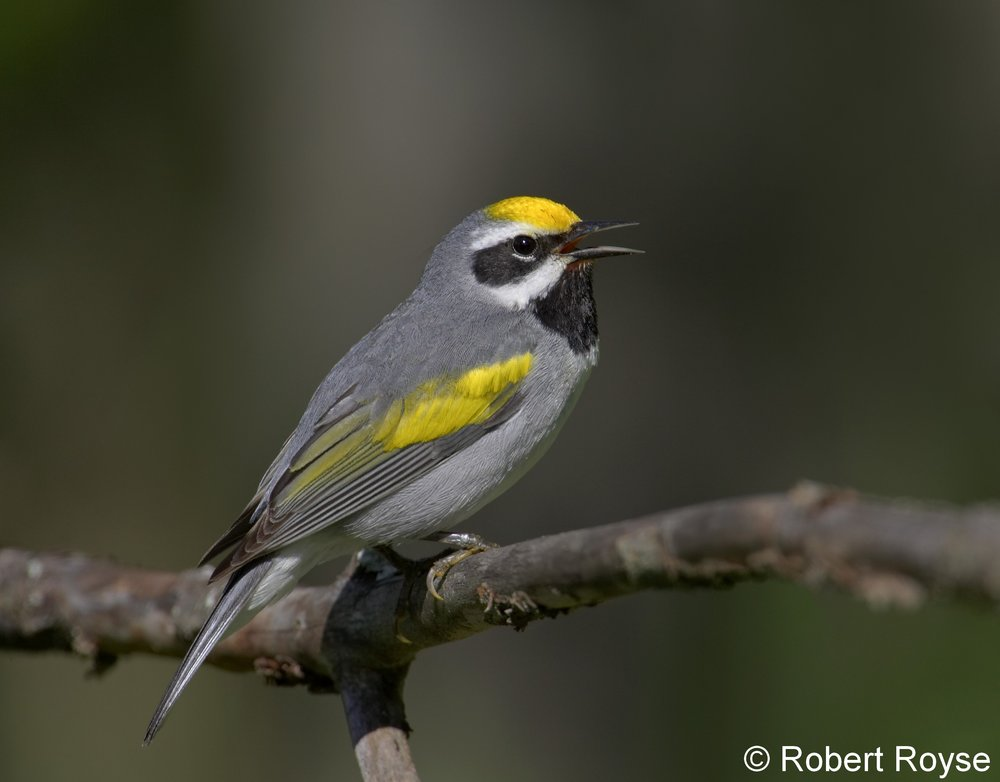 Golden-winged Warbler - Robert Royse (Flikr)