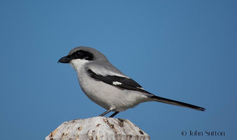 Loggerhead Shrike - John Sutton (Flikr)