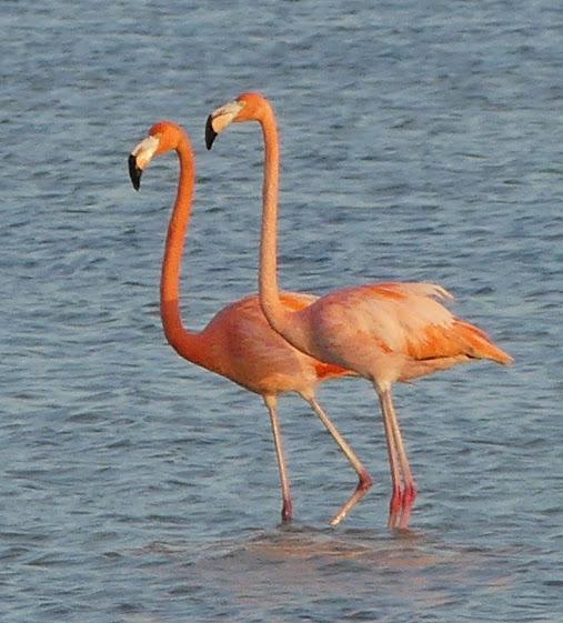 Flamingos - Robin Duska