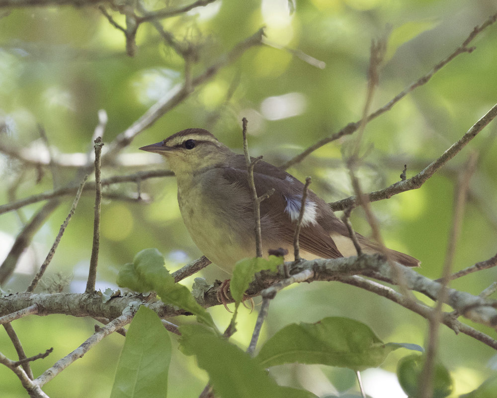 Swainson's Warbler - Dixie Sommers